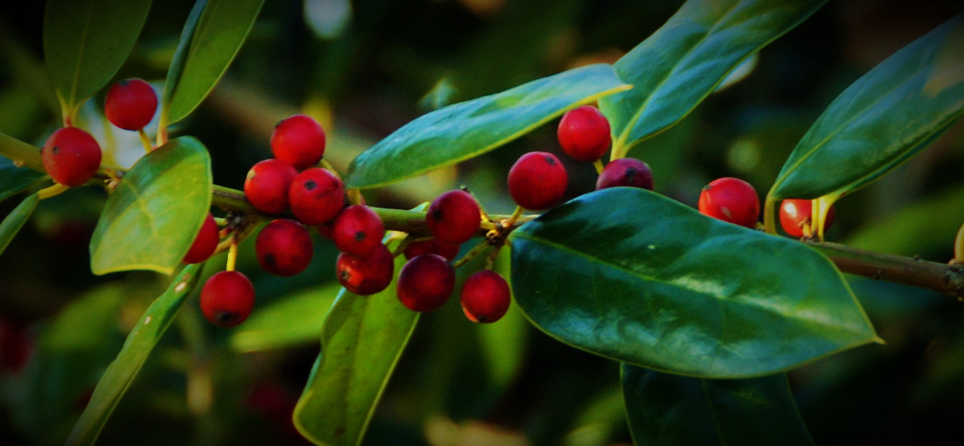 The Holly…