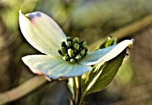 DOGWOOD DEVOTIONAL BLESSED 3 15