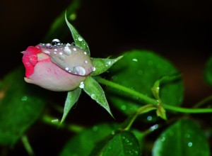 dew new rose