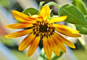 September sunflower devotional 9-+2015