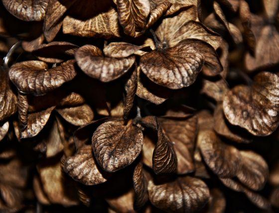 dead of winter hydrangea 1-16 devotional
