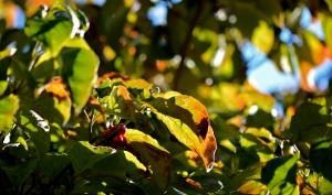 fall-dogwood-10-11-2016